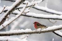 Bird_in_Snow
