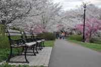 Cherry_Blossom_in_Branch_Brook_Park2C_NJ_-_2012