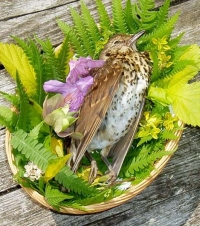 Dead20Song20Thrush20in20basket