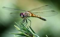 Dragonfly_ran-38720wiki