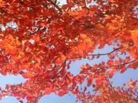 Fall_Leaves_in_College_Park