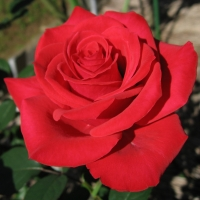 Rosa_Red_Chateau0120wiki