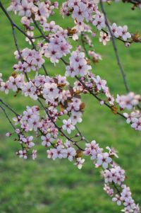 Spring_in_Somerville2C_NJ_-_2012_File_3