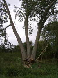 Triple_tree_-_geograph.org_.uk_-_595699